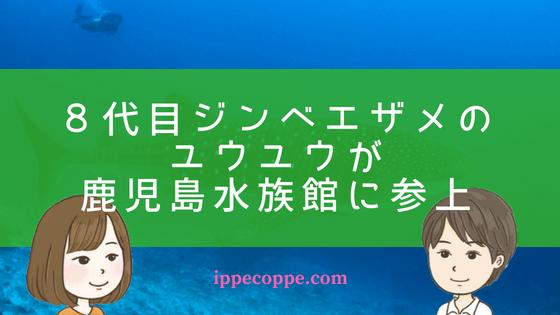 8代目ジンベエザメの ユウユウが 鹿児島水族館に参上