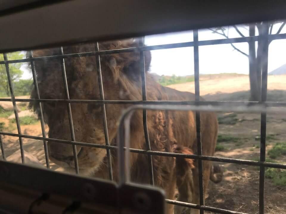 大分アフリカンサファリ_ライオン